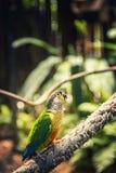 小绿色鹦鹉在一个热带森林里在一个晴天 免版税库存图片