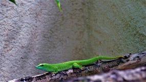 小绿蜥蜴 免版税库存图片