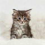 小缅因浣熊小猫坐白色毛皮 免版税图库摄影