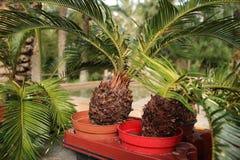 小罐五颜六色的苏铁属revoluta在庭院里 免版税库存照片
