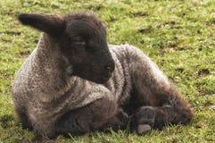 小羊羔 免版税库存图片