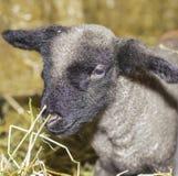 小羊羔 图库摄影