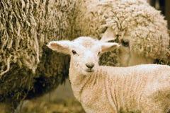 小羊羔 免版税图库摄影