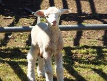 小羊羔 库存照片