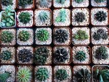 小美丽的仙人掌品种在罐的 免版税库存照片