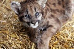 小美洲狮 免版税库存图片