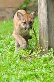 小美洲狮 免版税图库摄影