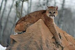 小美洲狮lounging在岩石 免版税库存图片