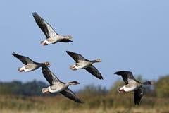 小群灰雁(分析服务公司分析服务公司)在飞行中。 免版税库存图片