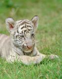 小老虎白色 图库摄影