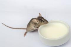 小老鼠饮用奶 库存图片