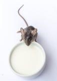 小老鼠饮用奶 免版税库存照片