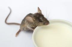小老鼠饮用奶 图库摄影