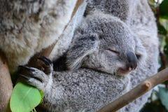 小考拉睡觉 野生生物悉尼动物园 澳洲调遣葡萄猎人新的南谷威尔士 澳洲 免版税图库摄影
