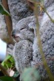 小考拉睡觉 野生生物悉尼动物园 澳洲调遣葡萄猎人新的南谷威尔士 澳洲 免版税库存照片