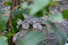 小考拉睡觉 野生生物悉尼动物园 澳洲调遣葡萄猎人新的南谷威尔士 澳洲 库存图片