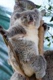 小考拉 野生生物悉尼动物园 澳洲调遣葡萄猎人新的南谷威尔士 澳洲 免版税库存图片