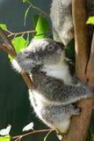 小考拉 野生生物悉尼动物园 澳洲调遣葡萄猎人新的南谷威尔士 澳洲 库存图片