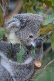 小考拉 野生生物悉尼动物园 澳洲调遣葡萄猎人新的南谷威尔士 澳洲 免版税库存照片
