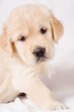 小背景灰色小狗的猎犬 免版税图库摄影
