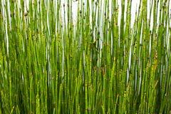 小背景的竹子 库存图片