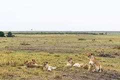 小自豪感休息 在大草原的雌狮 肯尼亚,非洲 库存图片