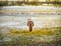 小舍特兰群岛小马独自地在一个多雪的领域 库存照片