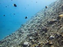 小船雪松自豪感击毁的新的珊瑚殖民地在亚喀巴,约旦,红海 免版税库存图片