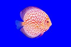 小花卉纹鱼系列 免版税库存图片