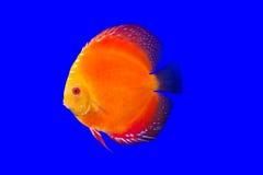 小花卉纹鱼 免版税库存照片