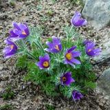 小花灌木 Pasque花在庭院里 库存照片