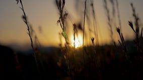 小花田自然背景在日落期间的 股票视频