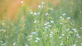 小花背景与白色瓣的 股票视频