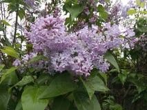 小花,淡紫色颜色,淡紫色花,雨水滴,弄湿了叶子,生气勃勃,干净的叶子,夏天生气勃勃 免版税库存图片