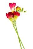 小苍兰花的红色枝杈 库存图片