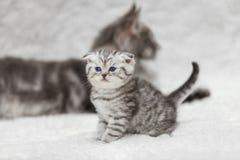 小苏格兰人折叠小猫和大灰色缅因树狸猫 免版税库存照片