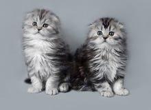 小苏格兰人折叠小猫 免版税库存照片