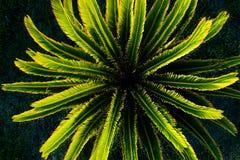 小苏铁树植物顶视图  库存图片