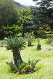 小苏铁科的植物植物在公园在开普敦,南非 库存图片