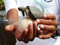 小草龟和鸡蛋在安全手上 免版税库存照片