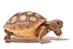 小草龟 免版税库存照片