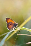 小荒地、蝴蝶在自然生态环境& x28; Coenonympha pamphilus& x29; 库存图片