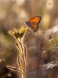 小荒地蝴蝶(Coenonympha pamphilus)在早晨太阳Bac中 库存图片