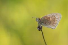 小荒地(Coenonympha pamphilus)在黄色背景 免版税库存照片