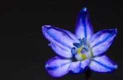 小蓝色春天花 库存图片
