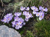 小蓝色花在庭院里 库存照片