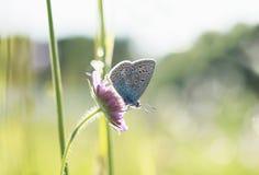 小蓝色蝴蝶坐在明亮的草中的一朵花  免版税库存照片