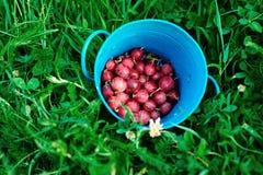 小蓝色金属桶在绿草的新被会集的鹅莓 库存照片