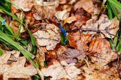小蓝色snowdrops在春天 免版税库存图片