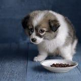 小蓬松小狗在食物旁边板材,坐蓝色背景 免版税库存照片